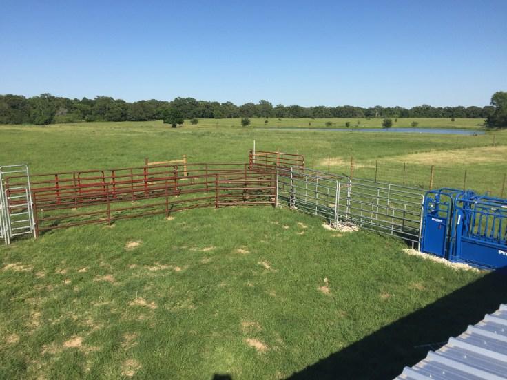 Working-on-Working-Cattle-4.jpg